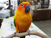 Adopted a 4 year old Sun Conure! Have some questions on
