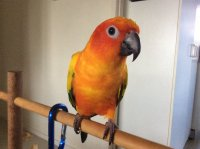 To anyone thinking of getting a sun conure | Page 4 | Avian Avenue