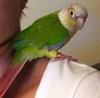 Green Cheek Breeding Mutations Question | Avian Avenue Parrot Forum