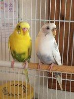 Female Budgie Cere Looks Funny | Avian Avenue Parrot Forum