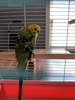 Tail bobbing: rookie mom | Avian Avenue Parrot Forum