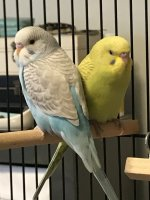 Urgent - Young Budgie w/ dirty vent | Avian Avenue Parrot Forum