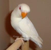 Albino Fischer Lovebird Avian Avenue Parrot Forum
