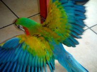 Pictures - Celebration of Hybrid Macaws | Avian Avenue