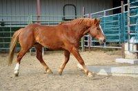 Mustang sorrel.jpg