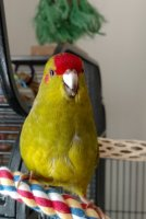 Brecky on my beak.jpg