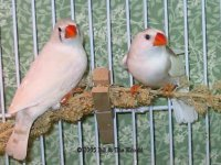 female finches.jpg