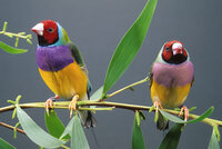 gouldian_finches_01.jpg