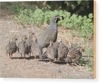 gathering-of-quail-chicks-with-dad-carol-groenen.jpg