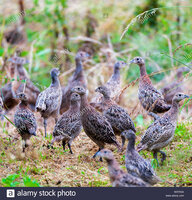 seven-week-old-young-pheasants-phasianus-colchicus-often-called-poults-which-have-just-been-re...jpg
